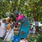 Diese Saatgut-Verteilung fand in Gondola, Provinz Manica statt. Der Ort wird Ingomai genannt. Die beteiligten Organisationen sind die Johanniter und der lokale Partner Kubatsirana.